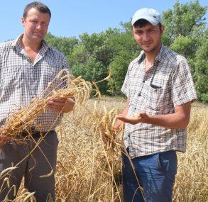 Страдная пора в районе в самом разгаре. Идет жатва озимой пшеницы на площади 40,5 тыс. га. В настоящее время обмолочено более половины главной хлебной культуры