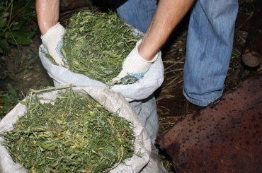 Житель Новоджерелиевской осужден за выращивание конопли