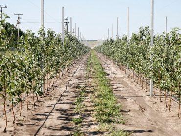В 2020 году в Краснодарском крае заложат свыше 1,5 тысяч гектаров молодых садов