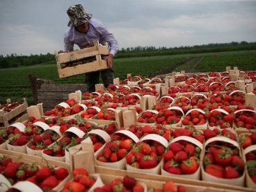 Краснодарский край вошел в пятерку ведущих субъектов РФ по производству ягодных культур