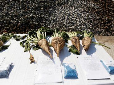 На Кубани средняя урожайность сахарной свеклы возросла на 28 ц/га