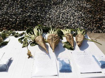 Брюховецкий район — один из лидеров региона по валовому сбору сахарной свеклы