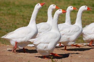 В ЛПХ в хуторе Рогачи выявили сальмонеллёз птицы: меры уже приняты