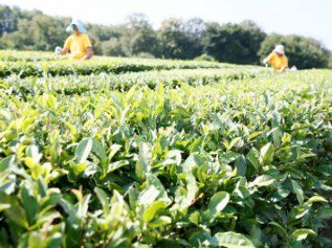 На Кубани урожай чая вырос на 17%